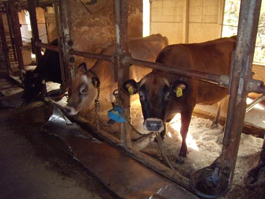 ジャージー牛.jpg