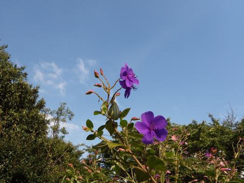 ニコ 紫花.jpg