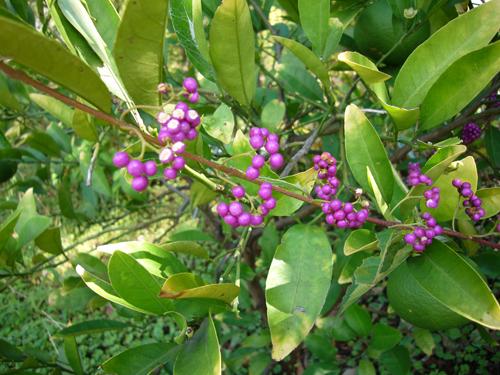 パナ 紫粒.jpg