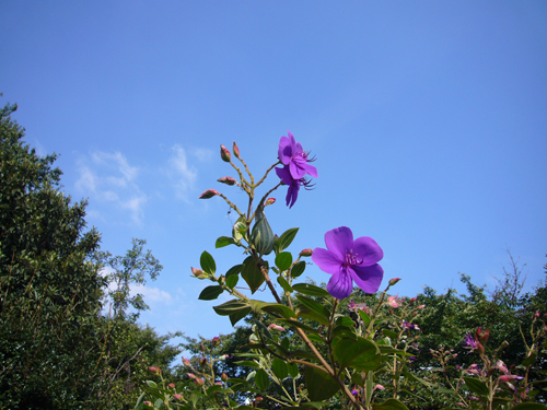 パナ 紫花.jpg