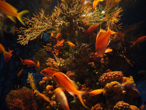八景島オレンジ魚.jpg