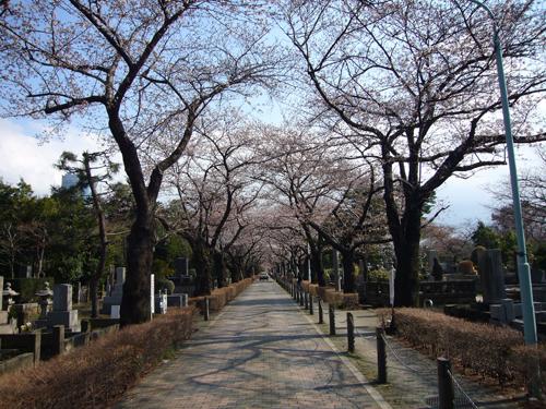 桜080325-1.jpg
