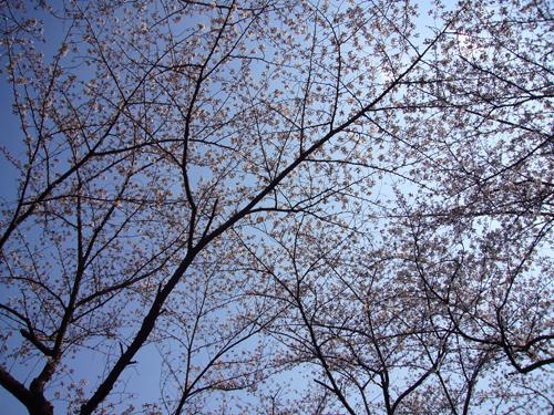 桜080325-2.jpg