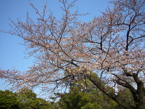 桜080325-3.jpg