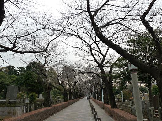 2009桜.jpg